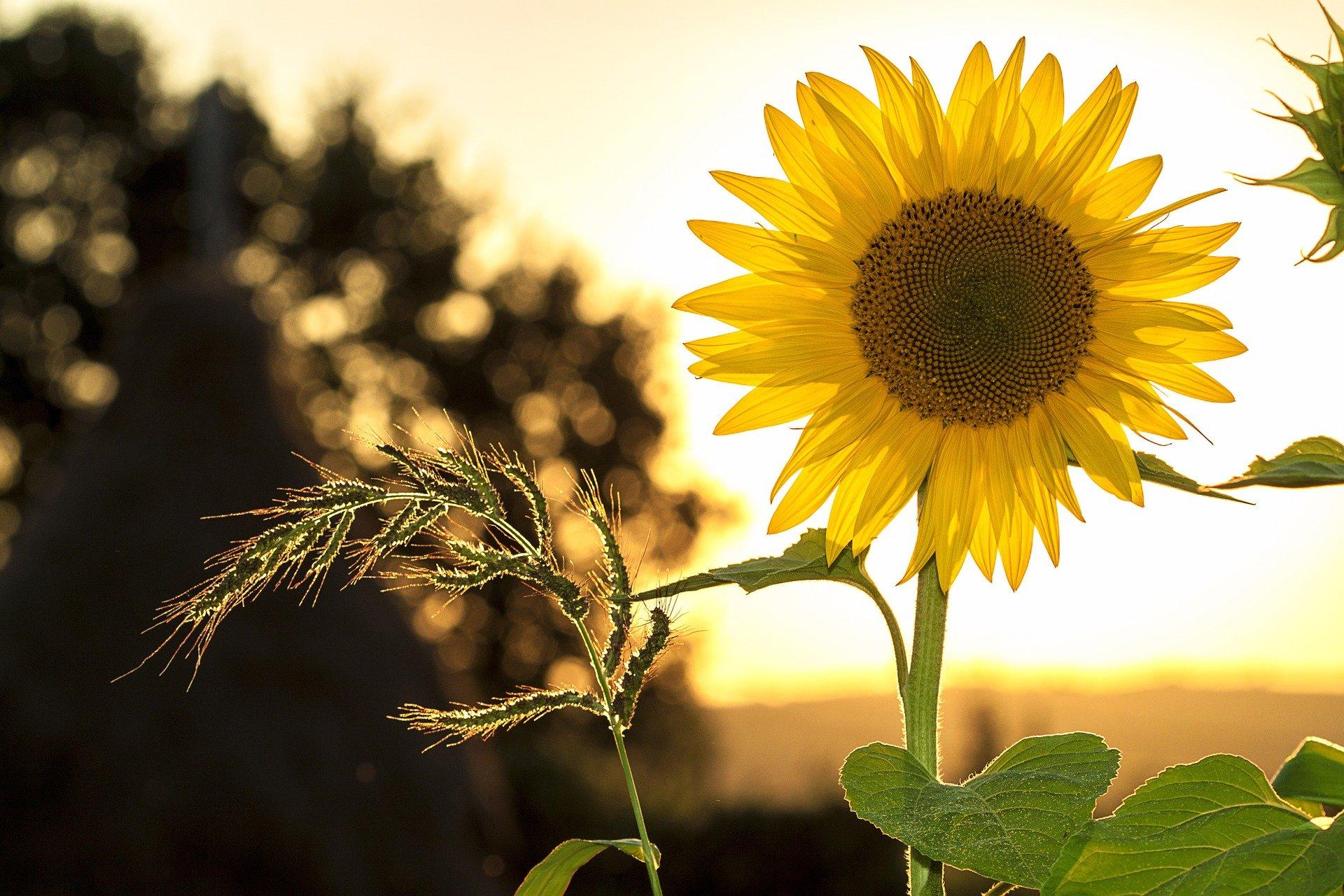 Bild: Sonnenblume - © Mircea Ploscar auf Pixabay / freie kommerzielle Nutzung